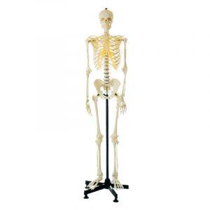 מודל אנטומי GD A11101 שלד גברי מלאכותי