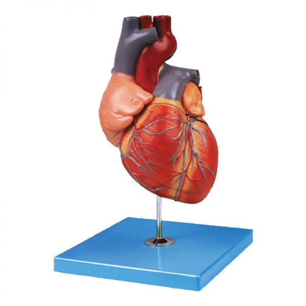 מודל אנטומי GD A16007 לב אדם מבוגר