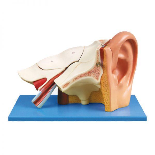 מודל אנטומי אוזן GD A17201 מתפרק
