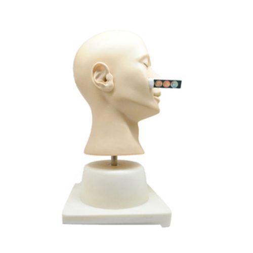 מודל אנטומי אוזן לתרגול אבחון מתקדם GD LV41